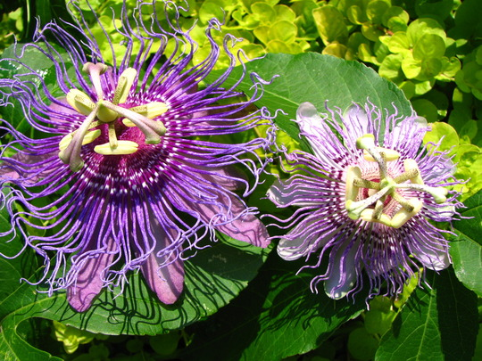 Hybrid  vs  native passiflora