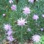 Centaurea_simplicicaulis
