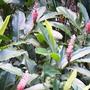 Garlic Lily