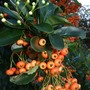 Pyracantha_in_flower_and_berries