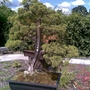 Rhs_wisley_bonsai