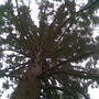 Rhs_wisley_tree