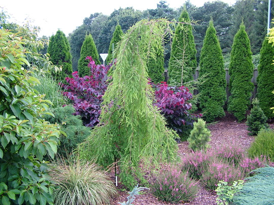 Taxodium distichum 'Cascade Falls' (common name; Bald cypress or Swamp cypress)