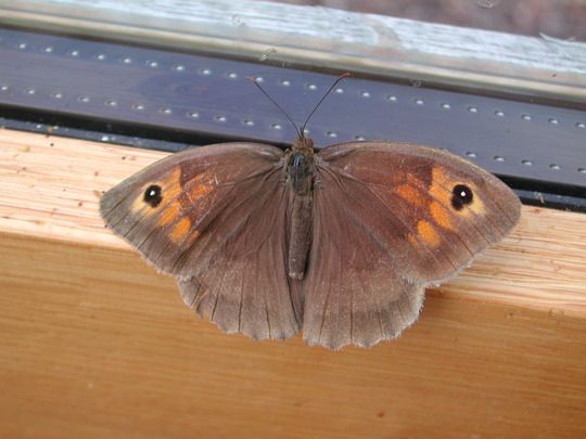 Meadow Brown butterfly.