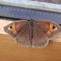 Meadow_brown_butterfly