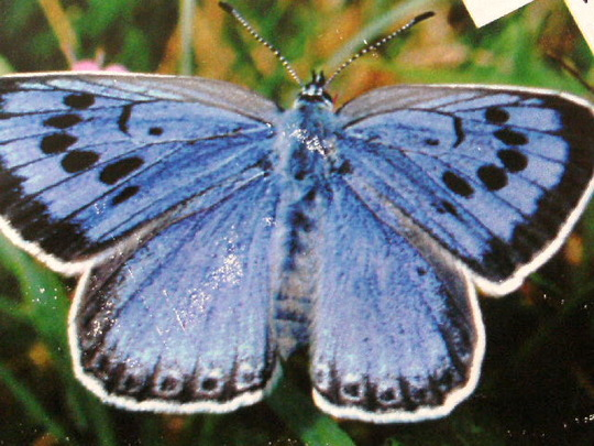 THE LARGE BLUE BUTTERFLY??????