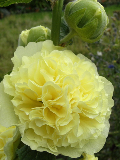 Double Yellow Hollyhock