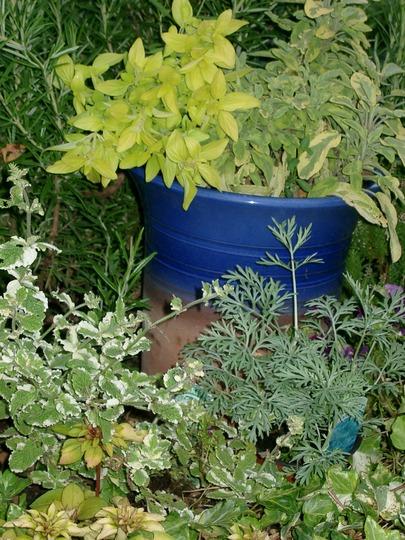 Summer herbs (Golden Margoram)