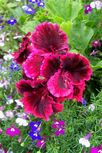 Pelargonium (Pelargonium)
