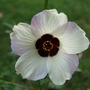 Venice Mallow or Flower of an Hour (Hibiscus trionum (Bladder Ketmia))