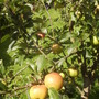 Family Apple Tree ready for Harvesting 08.08 (Malus domestica (Vistabile))