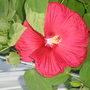 Hibiscus (Hibiscus moscheutos (Giant Mallow Marvels))