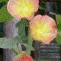Alcea rosea (Alcea rosea)