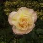 'Peace' Rose 08.08 (Rosa)