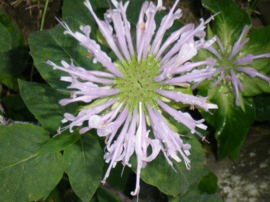 Monarda lavendar (Monarda didyma (Bergamot))