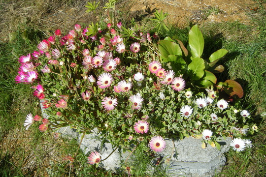 And my Daisies! (Mesembryanthemum crystallinum (Buzotu))