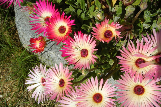 Livingstone Daisy (Mesembryanthemum crystallinum (Buzotu))