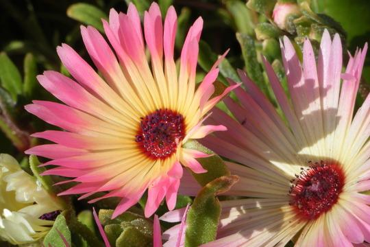 Pink and Yellow (Mesembryanthemum crystallinum (Buzotu))