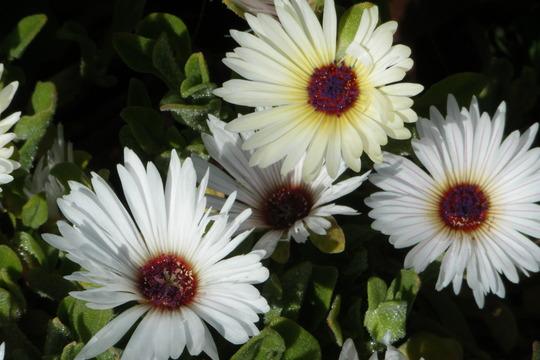 The Whites (Mesembryanthemum crystallinum (Buzotu))