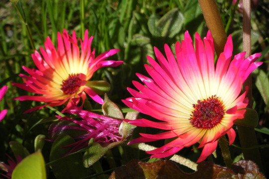 Dark Pinks (Mesembryanthemum crystallinum (Buzotu))