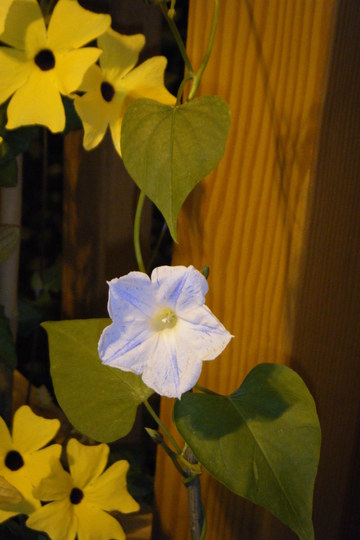 Morning Glory (Ipomoea purpurea (Morning glory))