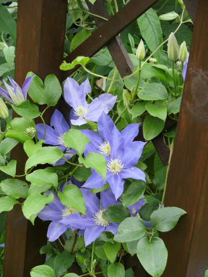 Clematis H.F Young Up Arch Now!