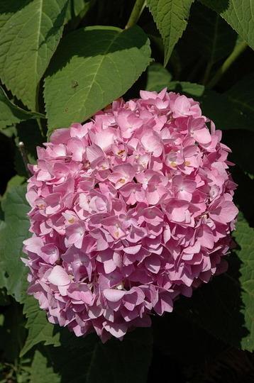 'Endless Summer' Hydrangea (Hydrangea macrophylla (Hortensia))