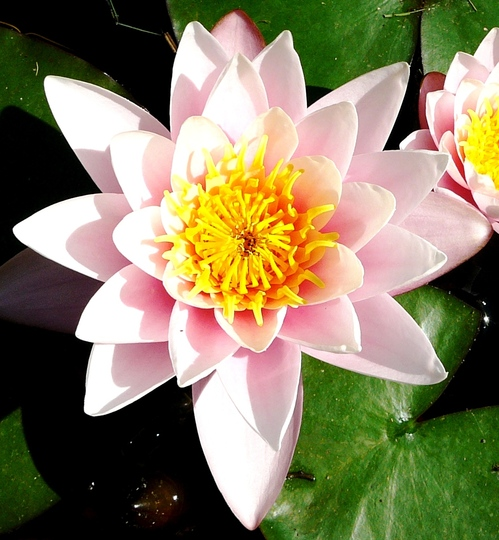 Water lily (Nymphaea alba (Nenufar Blanco))