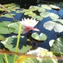 Lily from a different angle (Nymphaea alba (Nenufar Blanco))