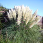 Pampas grass at Harlow carr