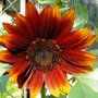 Rusty sunflower (Helianthus annuus (Sunflower))