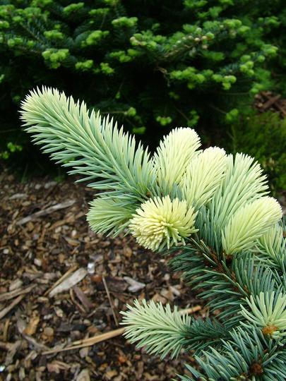 Picea pungens 'Nimetz'