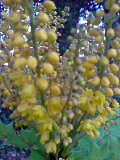 nov 07 (Mahonia japonica (Mahonia))