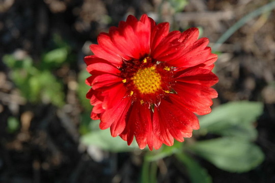 Blanket Flower (Gaillardia aristata (Blanketflower))