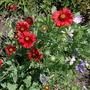 Blanket Flower & Malva (Gaillardia aristata (Blanketflower))