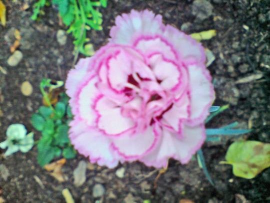 nov 07 (Dianthus plumarius (Border Pink))