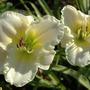 Dsc_0870_daylilies_cream