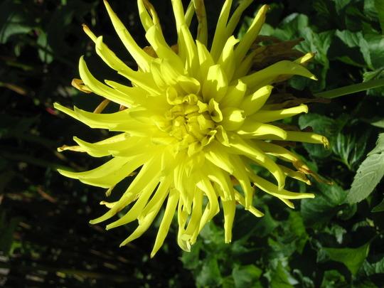 Zingy Lemon Yellow  Cactus Dahlia (Dahlia)