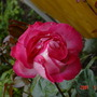 rose in my garden