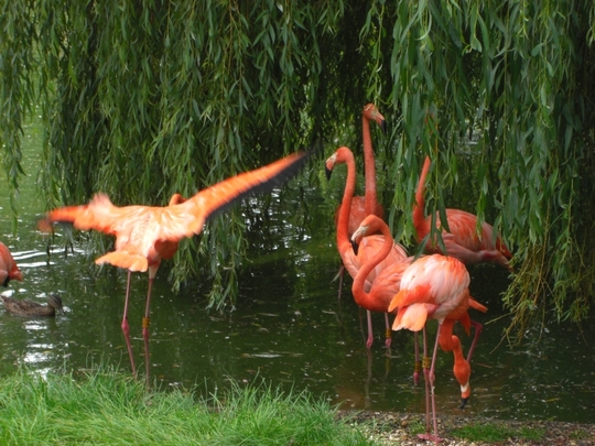 Flamingos and weeping willows