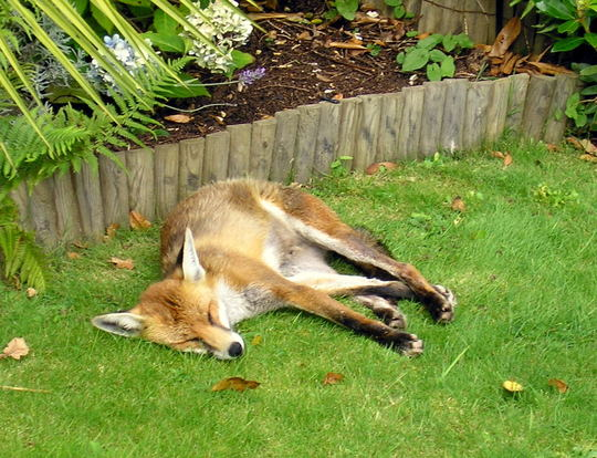 look who I found asleep in one of my gardens.
