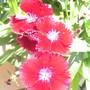 My Favorite (Dianthus barbatus (Sweet William))