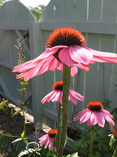 catching some rays (echinacea)