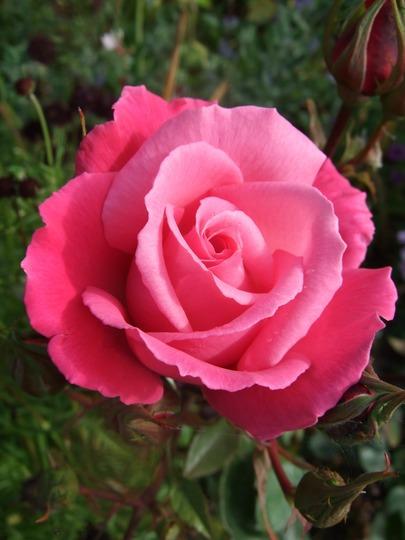 Rosa 'Prima Ballerina' (Rosa 'Prima Ballerina')