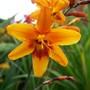 Crocosmia 'Festival Orange'