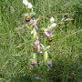 Bee Orchid (Ophrys apifera (Bee Orchid))