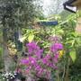 bougainvillea (bougainvillea)