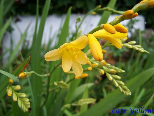 Crocosmia 'Late Yellow'