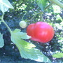 The big boys (Lycopersicon esculentum (Tomato))
