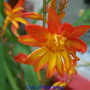 Crocosmia 'Out of the West'